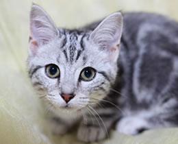 猫のフィラリア症について
