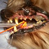 犬の歯周病をご存じですか?